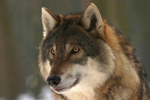 【夢占い】オオカミの夢の意味。暗闇、孤立、群れ、追いかけられる、逃げ切る、襲われる、食べられる、追い払うなど